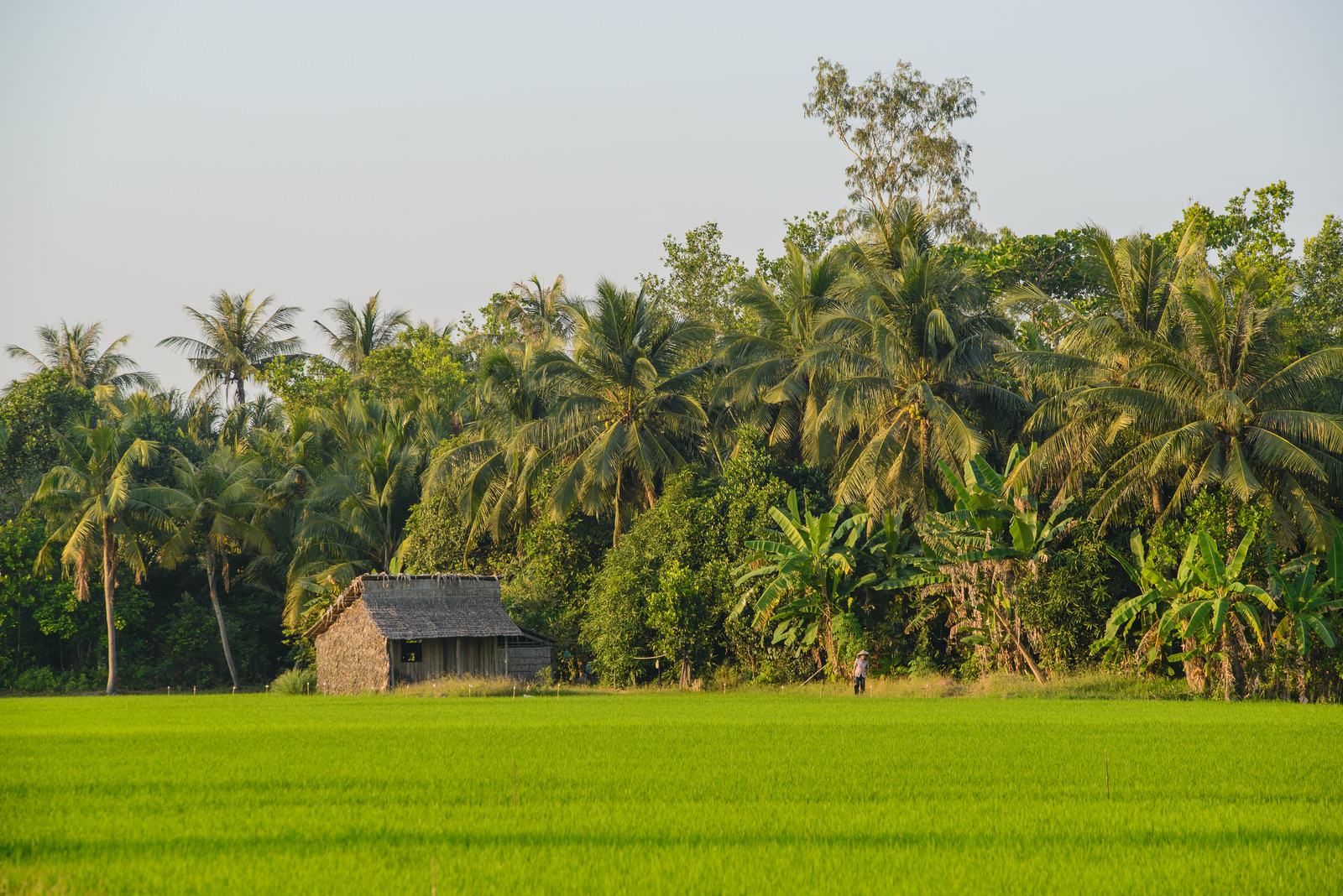 Rice paddy fields in Mekong Delta region - Mekong delta tour