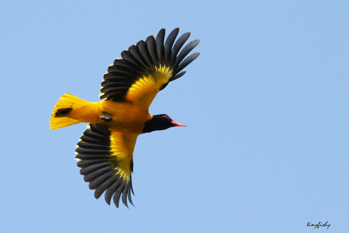 Black Hooded Oriole in Cat Tien National Park Day trip from Ho Chi Minh City